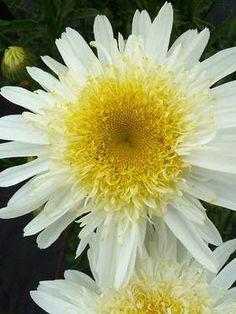 Chrysanthemum Real Glory