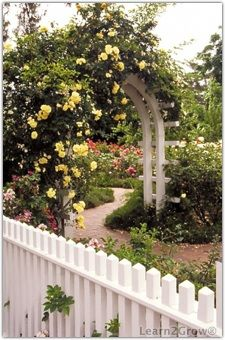 Trellis with yellow roses.  Pretty.