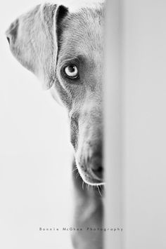 weimeraner, I totally have wanted one of these for years! Weimaraner, Vizsla, Cute Puppies, Dogs And Puppies, Animals And Pets, Cute Animals, Black And White Dog, Tier Fotos, Dog Portraits
