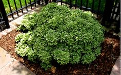 Variegated Pittosporum features attractive glossy variegated green and creamy yellow leaves on low mounding evergreen shrubs perfect for use in small spaces and under low windows. Garden Shrubs, Trees To Plant, Front Yard Landscaping, Mock Orange Shrub, Buy Plants, Plants, Urban Garden, Large Plants, Landscaping Plants