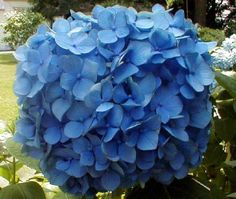 Nikko Blue Hydrangeas...just absolutely breathtakingly beautiful!