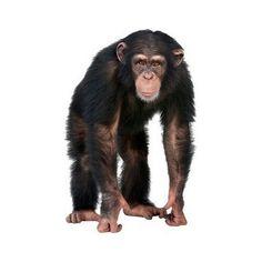 Young Chimpanzee Looking At The Camera - Simia Tro Stock Photo - Image of looking, animal: 9332890 Black Wall Stickers, Troglodytes, Safari Theme, Vertebrates, Plant Illustration, Illustrations, Animals Of The World, Stock Foto, 5 Year Olds