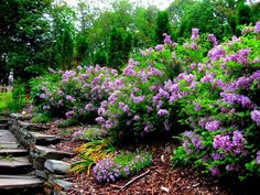 Lilac tree for an aromatic decor in the garden and house - Garden Design Ideas Dwarf Lilac, Lilac Tree, Lilac Bushes, Lilac Blossom, Syringa, Home Garden Design, Yard Design, Garden Shrubs, Garden Trellis