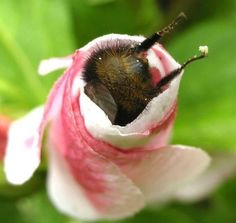 Bumblebutt with tiny legs just hanging out of a flower  #aww #cute #cutecats #dinkydogs #animalsofpinterest #cuddle #fluffy #animals #pets #bestfriend #boopthesnoot