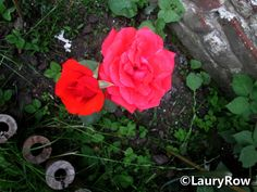 Dans le jardin de ma soeur, fleur naturel,sans pesticides et aucun autres produits toxiques / In the garden of my sister , natural flower , without pesticides and any other toxic products.by me* ©LauryRow.