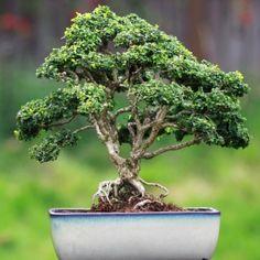 Kingsville Boxwood Boxwood Bonsai, Bonsai Trees, Mame Bonsai, Buxus, Herbs, Plants, Collection, Gardens, Bonsai