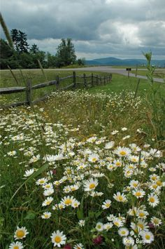 Country Living ~ Daisies, old fence