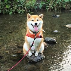 beautiful shiba inu sitting on a rock in a river Animals And Pets, Funny Animals, Cute Animals, Cute Dogs Breeds, Dog Breeds, Akita, Chien Shiba Inu, Cute Puppies, Dogs And Puppies