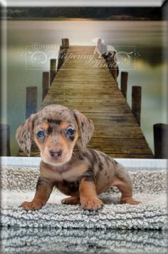 Dapple Dachshund - I would love one of these