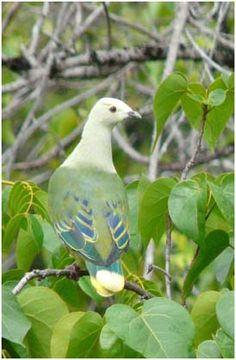 White-capped Fruit Dove(Ptilinopus dupetithouarsii)