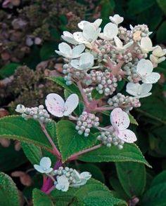 ❤ =^..^= ❤  Low-Maintenance, Long-Lasting Hydrangeas | Fine Gardening Fabulous article ~ Panicle hydrangea ( Hydrangea paniculata cvs., USDA Hardiness Zones 3–8) is a great old-fashioned shrub.