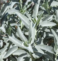 White Sage Seeds, Known as Buffalo Sage and Bee Sage, this is the sacred sage that is bundled and burned as smudge to purify places and things.