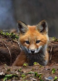 Red Fox Cub by Thomas Young