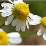 Why Chamomile is a Mini Pharmacy in a Flower