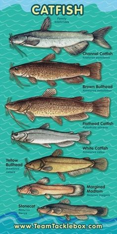 Freshwater fishing can be a great experience. Find out more about freshwater fishing including useful tips and how to stay safe when you are on the water. Catfish Bait, Catfish Fishing, Fishing Lures, Surf Fishing, Crappie Fishing, Fishing Reels, Fishing Tackle, Magnet Fishing, Salmon Fishing