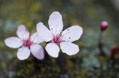 Cuadro Portland Cherry Blossom II