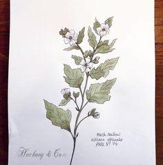 ©Hackney & Co Day 74 #marshmallow #scottish #wildherb #botanicalillustration #botanicalart #healingherbs #herbs #botanica #wildherbillustration #herbology #100daysofillustration #hackneyandco100days