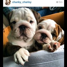 Who loves bulldog puppies?❤ @little_miss_pearl_