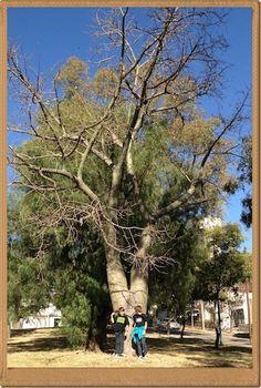 palo borracho relation to baobab tree Bolivia, Baobab Tree, Fauna, Conservation, South America, Survival, Brazil, Plants, Spanish