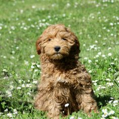 Labradoodle Pictures of Our Wonderful Dogs and Puppies - Spring Creek Labradoodles Labradoodle Pictures, F1 Labradoodle, Australian Labradoodle Puppies, Labradoodles, Dogs And Puppies, Bear Dogs, Doggies, Teacup Chihuahua, Labrador Retriever Dog