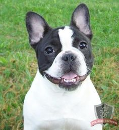 French Bulldog... one of the best pictures from our reviews