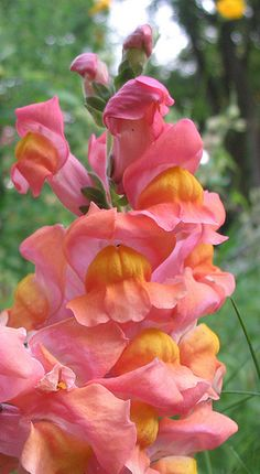 Peach colored flowers