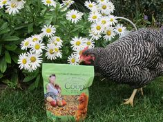 Spruce the Coop® The Chicken Chick's Guide to Backyard Chickens Lifestyles of the Chicken Famous Sweet Coop® Zeolite Chicken Chick, Chicken Feed, Chicken Runs, Diy Chicken Coop, Raising Backyard Chickens, Keeping Chickens, Pet Chickens, Chicken Garden, Chicken Treats
