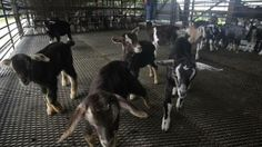 A goat nursery at Hay Dairies Goat Farm in Singapore. http://www.straitstimes.com/news/singapore Photo: Kevin Lim/The Straits Times