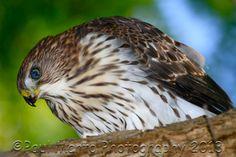 Cooper's Hawk by Paul Marto on 500px
