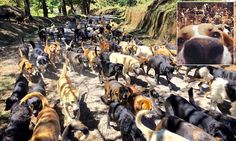 The doggy paradise 'Land Of The Strays' in Costa Rica #DailyMail | These are some of the stories. See the rest @ http://twodaysnewstand.weebly.com/mail-onlinecom or Video's @ http://www.dailymail.co.uk/video/index.html