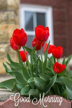 New Flowers Red Tulips Ideas Red Tulips, Tulips Flowers, Exotic Flowers, Amazing Flowers, Beautiful Roses, Daffodils, Spring Flowers, Beautiful Flowers, Tulips Garden
