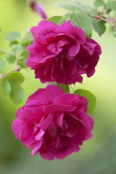 ~~Cottage Garden Rose by Richard Loader~~