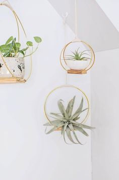 Tillandsia | Air Plants