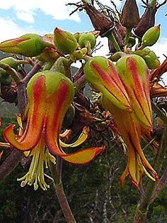 Cotyledon Velutina - Indigenous - South African Succulent - 10 Seeds | Seeds for…