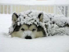 Hilarious and Heartwarming Photos of Dogs in Snow - My Modern Metropolis...makes me miss my malamutes :(