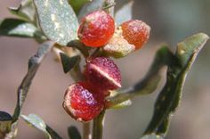 Drought tolerant, grows well in hot dry position. Adaptable to most soil types. Small red berries in Summer are edible and attract skinks and birds. Edible Plants, Types Of Soil, Red Berries, Drought Tolerant, Native Plants, Shrubs, Perennials, Melbourne, Berry
