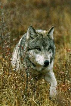 Lobo gris - Timber wolf