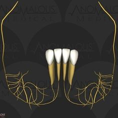 The mandibular central and lateral incisors and their nerve supply. Dentaltown Message Board > Dental Anatomy http://www.dentaltown.com/MessageBoard/thread.aspx?s=2&f=154&t=234513&pg=1&r=3636740 #DentalAnatomy #DentalStudent #MandibularCentralIncisor #MandibularLateralIncisor #Dentist #Dentaltown #Dental