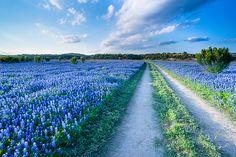 Texas Bluebonnet field #travel #wildflowers #wallart