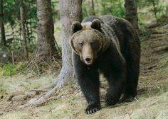 Bear in Carpathian Mountains