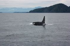 C 22 East bound in a hurry. @Mackay Whale Watching.