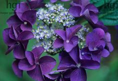 """Hydrangea serrata 'Bluebird' commonly called """"tea of heaven"""" for the taste of it's leaves which produce phllodulcin, a natural sweetener(similar to Stevia rebaudiana but without the bitter taste."""