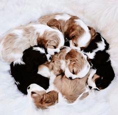 Little lovin' #newborn #puppies #cuteness #adorable