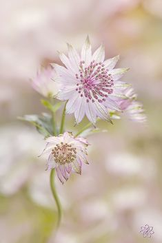 ~~Masterwort Flowers | Astrantia major | by Jacky Parker~~