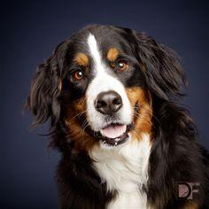 Mattie: Bernese Mountain Dog