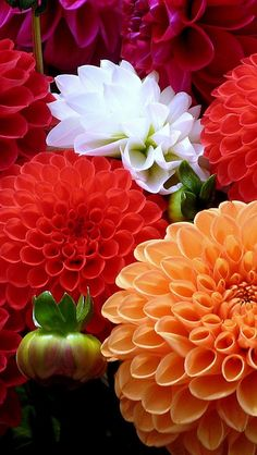 100 Dahlia seeds - Pompon~beautiful gardens, gorgeous flower , mix color , home garden Amazing Flowers, Colorful Flowers, Beautiful Flowers, Beautiful Gorgeous, Simply Beautiful, Fleur Orange, Orange Orange, Orange Color, Beautiful Gardens