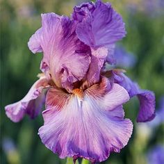 262 best flowers summer perennial flowers images on pinterest in jennifer rebecca reblooming bearded iris iris flowersbulb flowerstypes mightylinksfo