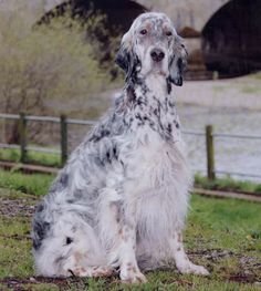 English Setter Dog Breed Puppies