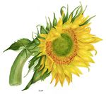Member Gallery | American Society of Botanical Artists