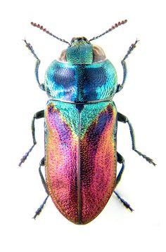 Anthaxia bicolor